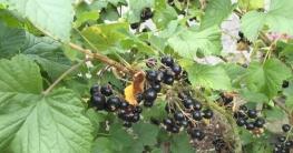 schwarze-johannisbeeren-dampfentsafter